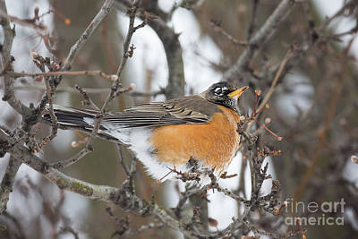 Photograph - American Robin Red Breast by Sharon McConnell