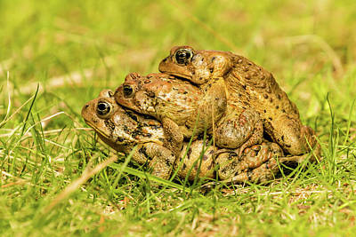 Photograph - American Toad Western Brooke Pond, Grose M by David Butler