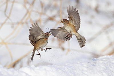 Birds In Snow Wall Art - Photograph - American Tree Sparrows by Alina Morozova