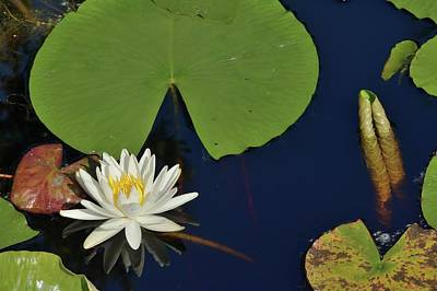 Photograph - American Water Lily by Bradford Martin