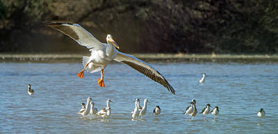 Photograph - American White Pelican 2745-012619 by Tam Ryan