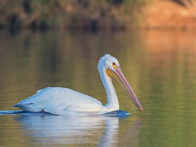 Photograph - American White Pelican 9466-111218-1cr by Tam Ryan