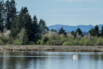 Photograph - American White Pelican At Fern Ridge by Belinda Greb