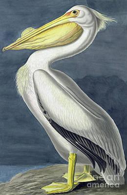 Painting - American White Pelican, Pelecanus Erythrorhynchos By John James Audubon by John James Audubon