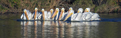 Photograph - American White Pelicans 2629-012619 by Tam Ryan