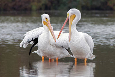 Photograph - American White Pelicans 3604-120818-1cr by Tam Ryan