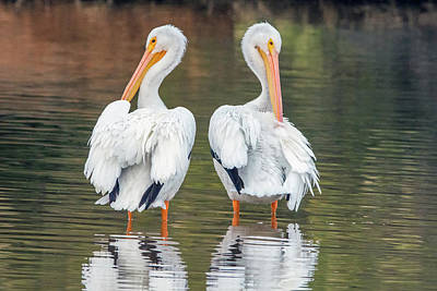 Photograph - American White Pelicans 4267-121018-1 by Tam Ryan