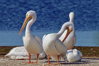Photograph - American White Pelicans by Susan Rydberg