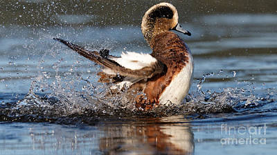 Photograph - American Wigeon 2 by Sue Harper
