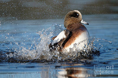 Photograph - American Wigeon 3 by Sue Harper