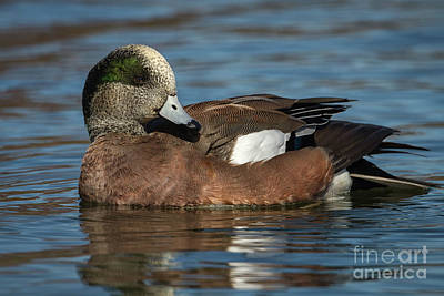 Photograph - American Wigeon by David Cutts