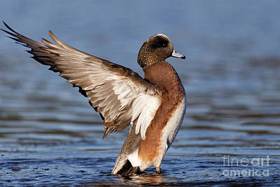 Photograph - American Wigeon Delight by Sue Harper