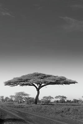 Photograph - An Acacia Tree In Serengeti National by Mint Images - Art Wolfe
