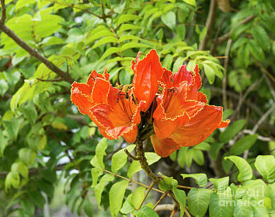 Photograph - An African Tulip Tree Blossom At The Koreshan State Historic Sit by William Kuta