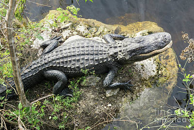 Photograph - An Alligator Perches On A Rock At The Oasis Visitors Center In B by William Kuta