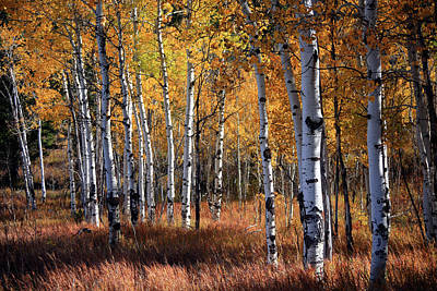 An Aspen Grove In Autumn With Orange Art Print by Denny35463