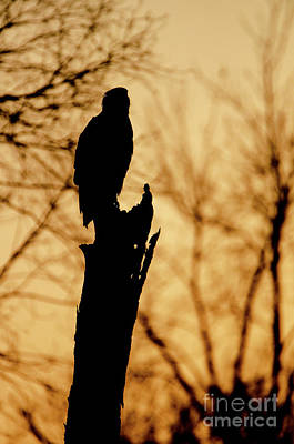 Photograph - An Eagle Silhouette by Steven Santamour