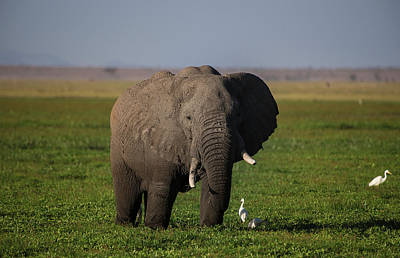 Photograph - An Elephant at the Amboseli National Park by Jwngshar Narzary