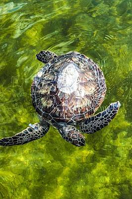Painting - An Endangered Green Sea Turtle Is Released Into The Mosquito Lagoon. by Celestial Images