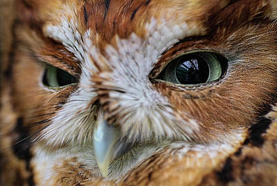 Photograph - An Eye On You Screech Owl by Kyle Findley