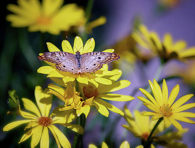 Photograph - Anartia Jatrophae On Yellow Daisies by Saija Lehtonen