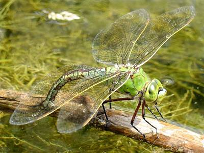 Painting - Anax Imperator Female Laying Eggs, Giant Darner Dragonfly - Anax Walsinghami by Anax walsinghami