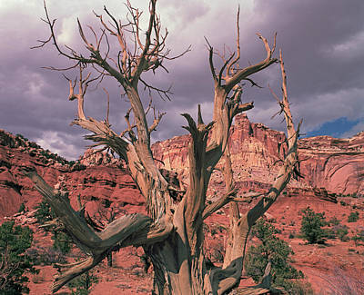 Photograph - Ancient Juniper by Tom Daniel