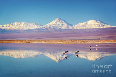 Andes Wall Art - Photograph - Andean Flamingos In Atacama Salar, Chile by Delphimages Photo Creations