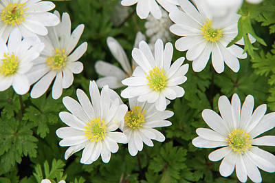 Photograph - Anemone Blanda White Splendour by Jenny Rainbow