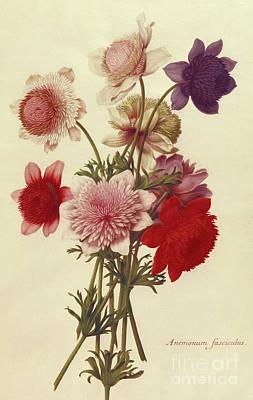 Painting - Anemone Coronaria, 17th Century by Nicolas Robert