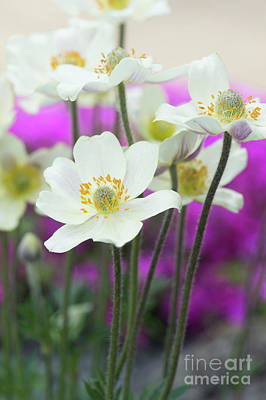 Photograph - Anemone Magellanica Flowers by Tim Gainey