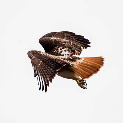 Photograph - Angel Wings Red Tail Hawk by Terry DeLuco