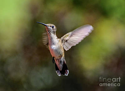A White Christmas Cityscape - Angelic Juvenile Male Ruby-throated Hummingbird by Cindy Treger