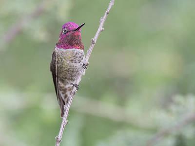 Photograph - Anna's Hummingbird 5117-102218-cr by Tam Ryan