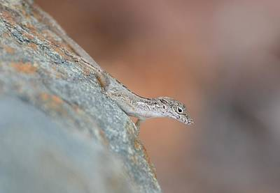 Photograph - Anole On The Rocks by Fraida Gutovich