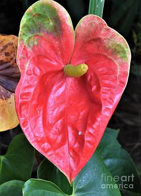 Photograph - Anthurium  by James Fannin