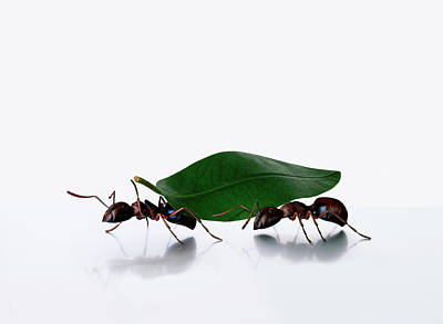Ant Photograph - Ants Carrying Leaf, White Background by Kevin Summers