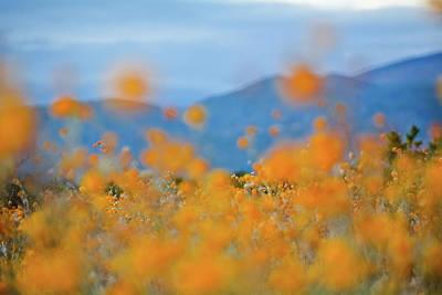 Photograph - Anza Borrego Desert Sunflowers by Kyle Hanson