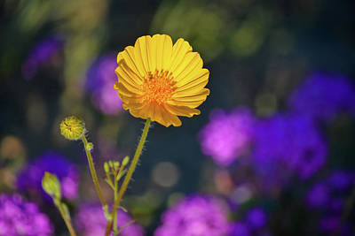 Photograph - Anza Borrego Sunset Wildflower by Kyle Hanson