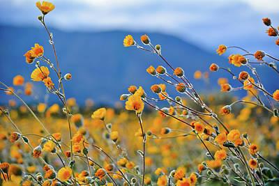 Photograph - Anza Borrego Wild Desert Sunflowers by Kyle Hanson