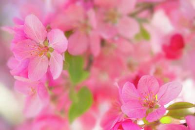 Photograph - Apple Blossom 4 by Leland D Howard