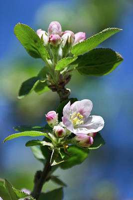 Photograph - Apple Blossom by Christina Rollo