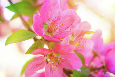 Photograph - Apple Blossoms Warm Glow by Leland D Howard