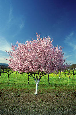 Scenery Photograph - Apple Tree In A Field, Napa Valley by Medioimages/photodisc