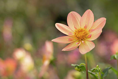 Wall Art - Photograph - Appleblossom Dahlia by Stacy Honda
