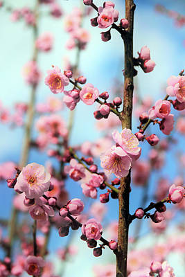 Photograph - Apricot Blossom by Jessica Jenney
