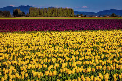 Photograph - April Tulip Fields by Garry Gay