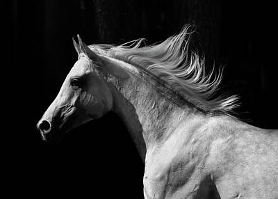 Photograph - Arab Stallion by Photographs By Maria Itina