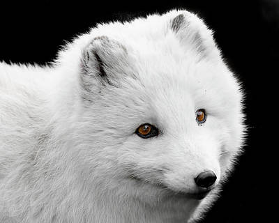Photograph - Arctic Fox Furry Face by Wes and Dotty Weber