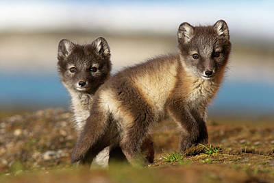 Photograph - Arctic Fox Kits by Jasper Doest